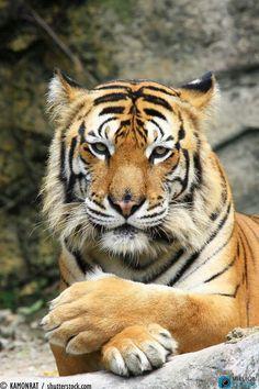 Beautiful Tiger ❤️❤️❤️❤️