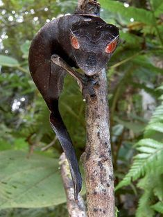 Satanic Leaf-Tailed Gecko/The satanic leaf-tailed gecko (Uroplatus phantasticus) is the smallest of 12 species of bizarre-looking leaf-tailed geckos. The nocturnal creature has extremely cryptic camouflage so it can hide out in forests in Madagascar. This group of geckos is found only in primary, undisturbed forests, so their populations are very sensitive to habitat destruction. Large Uroplatus species have more teeth than any other living terrestrial vertebrate species.