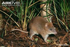The shy and elusive Long-Footed Potoroo is one of the rarest marsupial mammals in Australia. They are essentially small kangaroos, commonly referred to as rat-kangaroos. The long-footed potoroo is around the size of a hare.