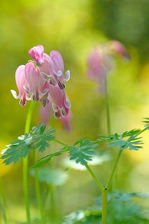 Delicate Pink Bleeding Hearts