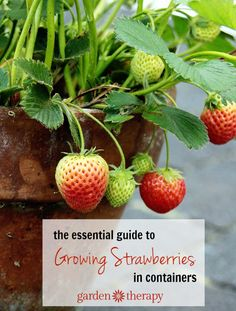 garden therapy Growing Strawberries in Containers http://gardentherapy.ca/growing-strawberries-in-containers/ via bHome https://bhome.us