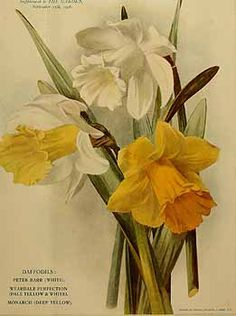 273016 Narcissus / The garden. An illustrated weekly journal of horticulture in all its branches [ed. William Robinson], vol. 70:  (1906)