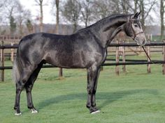 Jumper for Sale - Warmblood Factor - Gelding horse for sale | Benny de Ruiter Stables