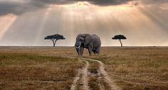El símbolo perpetuo de África ya no puede resistir más. Los elefantes africanos…