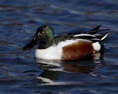 male shoveler duck