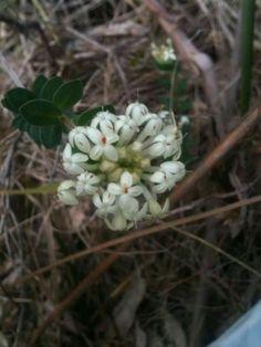 Pimelea himulis via Indigenous Flora of Melbourne fb page