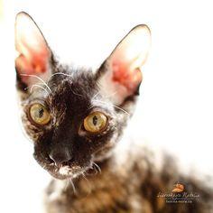 •♥•✿ڿڰۣ(̆̃̃•Aussiegirl #Cats  Cornish Rex