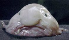 Blobfish (Psychrolutes marcidus)   A fish that inhabits the deep waters off the coasts of Australia and Tasmania.