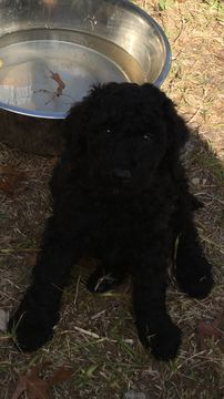 Litter Of 5 Poodle Standard Puppies For Sale In Dallas Tx Adn