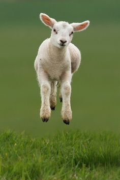 The Levitating Lamb