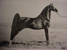 "The American Saddlebred stallion, Anacacho Denmark.  Our very 1st horse was one of his grand""daughters"", Shelly's Denmark."