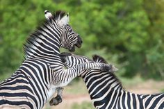 Zebra Fight - 2 Young Zebra stallions were having a mid morning dis-agreement on a recent wildlife photographic safari.