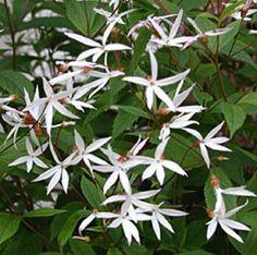 Gillenia trifoliata - Dreiblattspiere  VI-VII  ROTES HERBSTLAUB