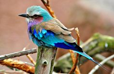 colorful blue birds