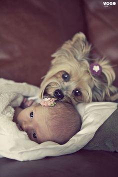 Yorkies love babies