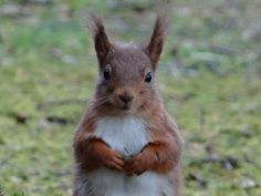 Scottish red squirrel by Sue Taylor on Happy Squirrel, Red Squirrel, Woodland Creatures, Woodland Animals, Racoon, Chipmunks, Squirrels, Nature Photos, Great Photos