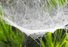 A misty morning brought hundreds of spiders' webs into view, and found me reaching for my camera.  Each web was dressed with a hazy white mantle of minute water droplets interspersed by tiny chains of pearls, and the most intricate arrangements of pearl interlace.