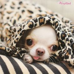 WHAT TO DO... ON A CHILLY DAY.... What I want to do in cold weather #chihuahua