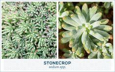 types of succulents-stonecrop