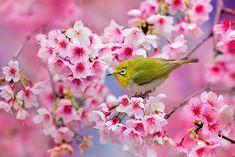 beautiful-cherry-blossom-10