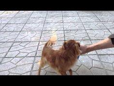 Chihuahua tout fou avec le cochon Vitakraft