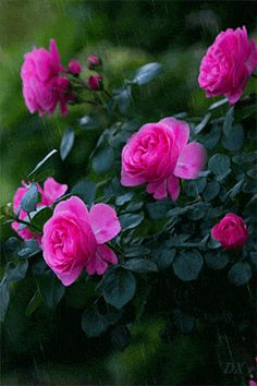 """""""Every person is like a grain of rain. Some fall into mud, some falls into a rose leaf. Flowers Gif, Beautiful Rose Flowers, Love Rose, Amazing Flowers, My Flower, Beautiful Gardens, Flower Power, Beautiful Flowers, Beautiful Life"""