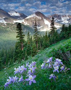 Colorado, Arapaho Pass- Blue Columbines along the trail.