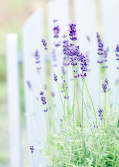Discover which lavender plant best suits your garden, and add one of our mouth-watering lavender recipes to your cookbook.data-pin-do= Discovering the many varieties of Lavender which do so well in English gardens Growing Lavender, Growing Herbs, Growing Flowers, Lavender Blue, Lavender Fields, Lavander, Lavender Cottage, Lavender Recipes, Pretty Flowers
