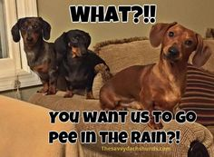 Cute little doxies. Totally reminds me of my own dog, who has not wanted to go out at all these last few days because of all the rain. #dachshundlove
