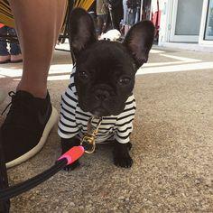 French Bulldog Puppy ❤️