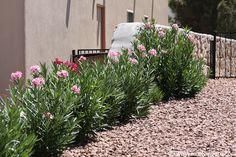 South West Landscaping Plants | Oleander Plants- Flowering Shrubs for the Desert Southwest Garden ...
