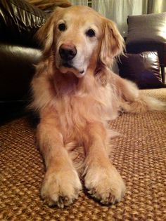 that face....those paws all part of golden goodness.