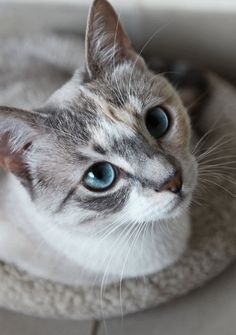 "Cats,Save the animals,adopt a pet SAVE THEM /""I LOVE My Lynx Point Siamese/""  Cat"