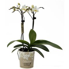 Little kolibri orchids cuba Orchids, Cuba, Lilies, Kobe, Orchid