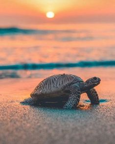 Sea Turtle iPhone Wallpaper Sea Sunset - Free Large Images - Best of Wallpapers for Andriod and ios Baby Animals Pictures, Cute Animal Photos, Animals And Pets, Cute Pictures, Nature Animals, Cute Little Animals, Cute Funny Animals, Cute Dogs, Baby Sea Turtles