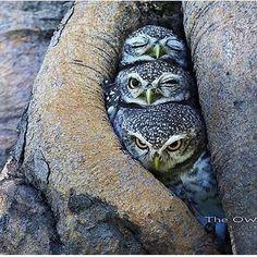 "wild live planet (@wildliveplanet) on Instagram: ""The owls picture Photo by ©Sasi Smit. #wildliveplanet"""