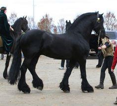 horse black stallion by cyborgsuzystock. horse black stallion by cyborgsuzystock. Big Horses, Black Horses, Horses And Dogs, Horse Love, Black Stallion Horse, Most Beautiful Horses, Pretty Horses, Animals Beautiful, Percheron Horses