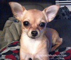 To get a little dog Chihuahuas are a medium shedder, but unfortunately most Chihuahuas shed all year lengthy no matter winter or summer, even though it will likely be less during the cool seasons.