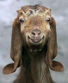 Doubt if this is not photoshopped in some way; nevertheless, it is an outstanding image of a Happy Goat.