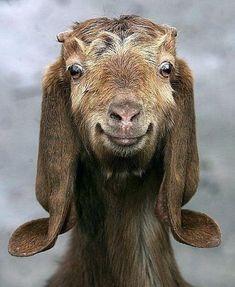 Goat smile.