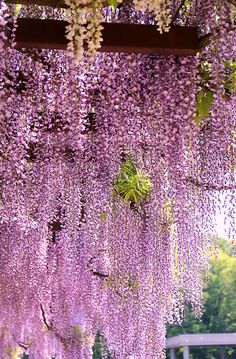 Wisteria  -  I just love wisteria!  I think I will buy my next house solely on the criteria that it must have an established wisteria that blooms like this.  Preferably all year round, lol!