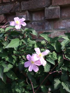Clematis Montana Rubens in flower in September !!!