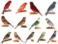 Types of Birds | Types Of Canary Birds - #Birds