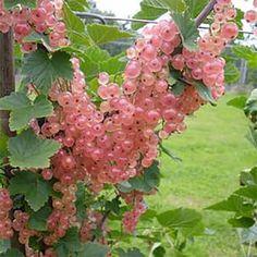 """Sorte In zartem hellrosa glänzen die großen Beeren der """"Rosalinn"""" im Garten. Die fast durchsichtigen Früchte haben ein mild-süßes Aroma und dünne Schalen. Johannisbeeren oder Ribisln gibt es in mehreren Farben, sie sind pflegeleicht und liefern wertvolle Früchte. Der feinsäuerliche Geschmack wird bei vollreifen Beeren von einer kräftigen Süße unterstrichen. Johannisbeeren zählen zu den relativ jungen Kulturpflanzen und werden erst seit dem 14. Jhdt. kultiviert. Anbau Als Standort haben… Fruit, Plants, Crop Rotation, Harvest Season, Light Rose, Boys, Plant, Planets"""