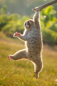 Slow Loris - Found in South and Southeast Asia, they range from Bangladesh and Northeast India in the west to the Philippines in the east, and from the Yunnan province in China in the north to the island of Java in the south.