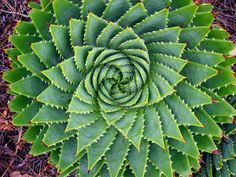 Many Aloe Vera Plants (in this case Aloe polyphyla) proudly display a Fibonacci spiral - Dark Roasted Blend: Fractals for Food