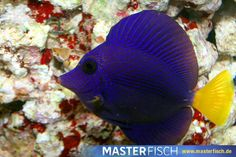 Rotmeer Doktorfisch - MasterFisch Beautiful Creatures, Fish, Pets, Animals, Red Sea, Types Of Animals, Animales, Animaux, Pisces