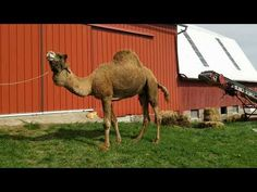 cushing camels - Google Search Camels, Romance, Google Search, Book, Animals, Romance Film, Romances, Animales, Animaux