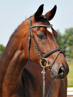 Baldwin, Gelding - German Horse Center