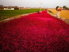 Lahore    People walk on a road covered by rose-petals, spread by wholesale dealers for drying purpose, in the outskirts of Lahore, Pakistan.